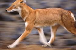 Ethiopian running wolf