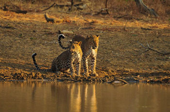 Leopards, Water