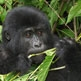 Mountain Gorillas with Stephen Mills