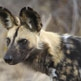 African Wild Dog Safari with Steve Leonard, Dr Greg Rasmussen and Peter Blinston