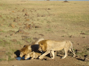 Lion Conservation
