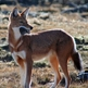 Ethiopian Wolf Expedition