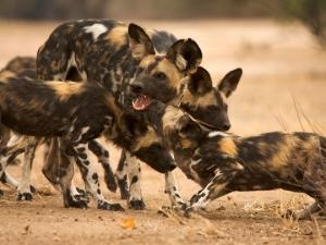 wild-dogs-istock