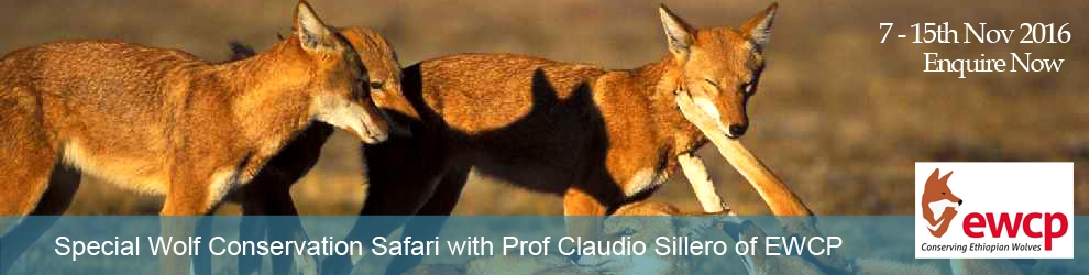 Join Claudio Sillero for a special wolf conservation safari