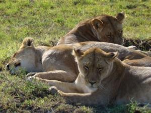 Kenya-lions-2008