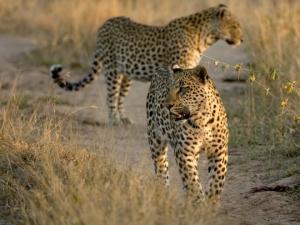 serengeti-2-leopards-f