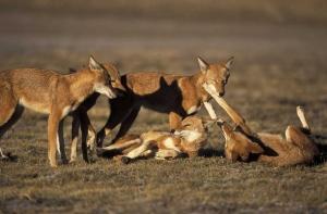 Ethiopian wolves. Bale mountains. Ethiopia. Pack on morning patrol.