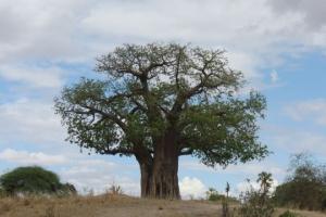 serengeti baobab