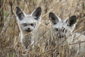 serengeti bat eared foxes