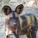 Painted Dog 2