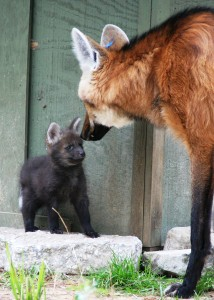 maned wolf and its pup