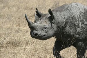 Black rhino banner