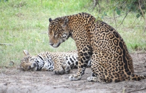 mother jaguar and her cub