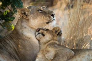 Wild lions in Zambia