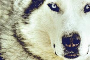 snow wolf face