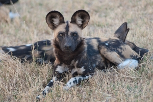 2 painted dogs