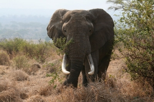 African_bull_elephant_