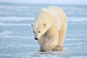 Polar Bear walking on blue ice.