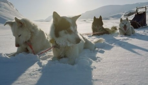 Sled Dogs Resting in Snow