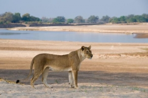 Lion Conservation