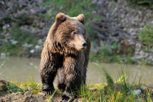 Watch Brown Bears in Finland