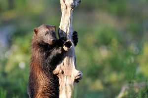 Wolverine climb up a tree