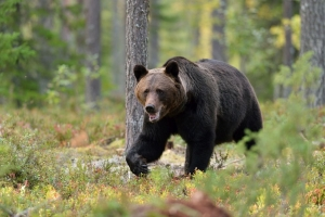 Bear walking in the woods