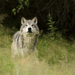 Grey wolf iStock_000014487330_Medium