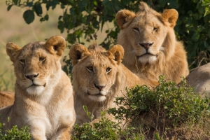 Efforts are being made in Africa to protect the lion population