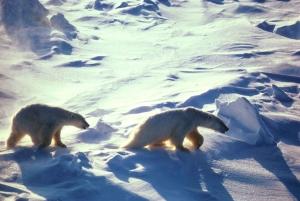 1280px-polar_bears