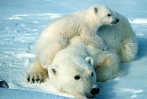 cute-polar-bear-polar-bears-35634918-3791-2567