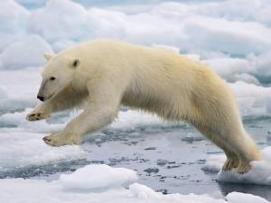 polar-bear-jumping